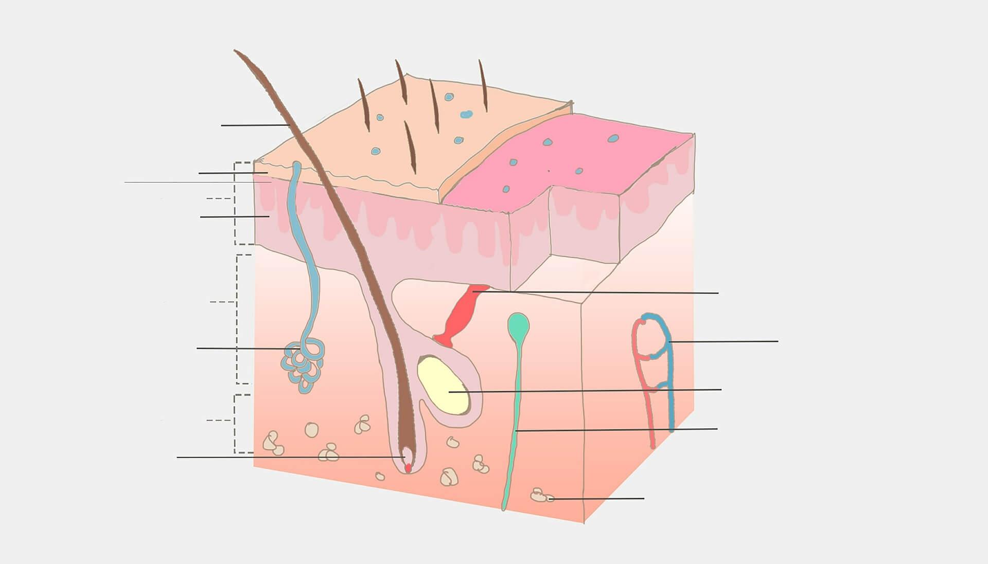 Skin found to play a role in controlling blood pressure | Proti šedi