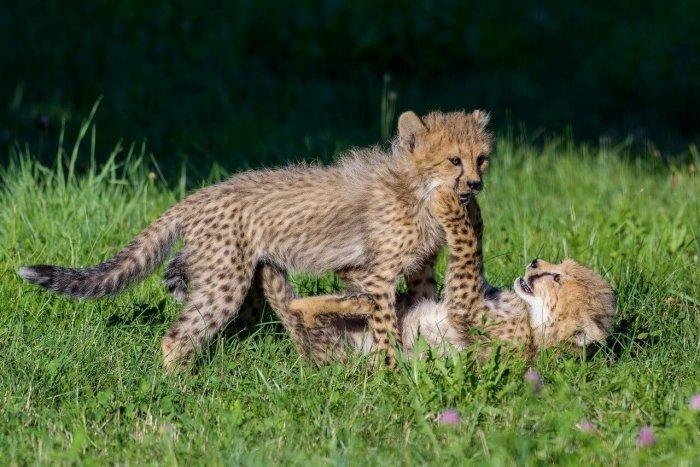 Gepardi Budou Mít Narozeniny