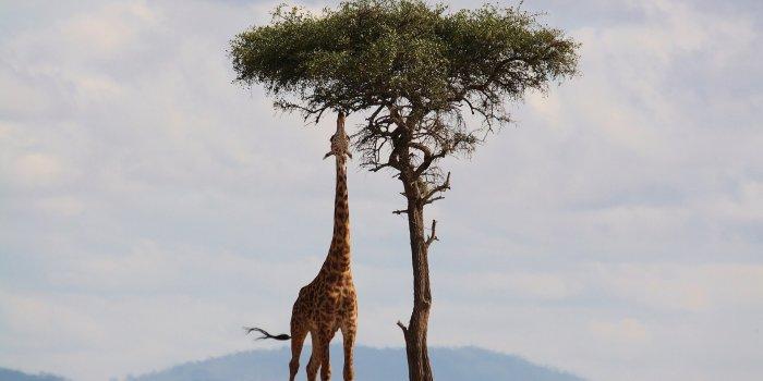 Giraffe 2191662 1920