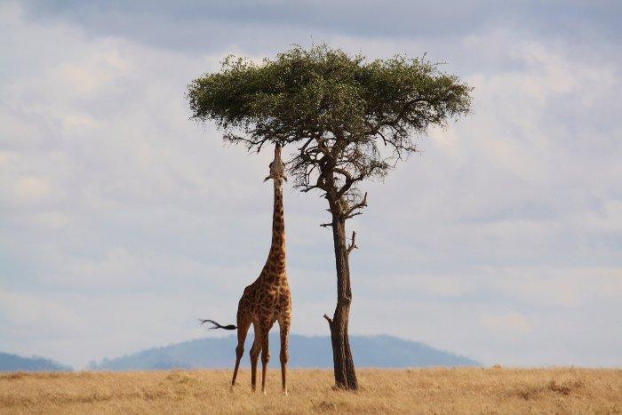 Co Sežere žirafa?