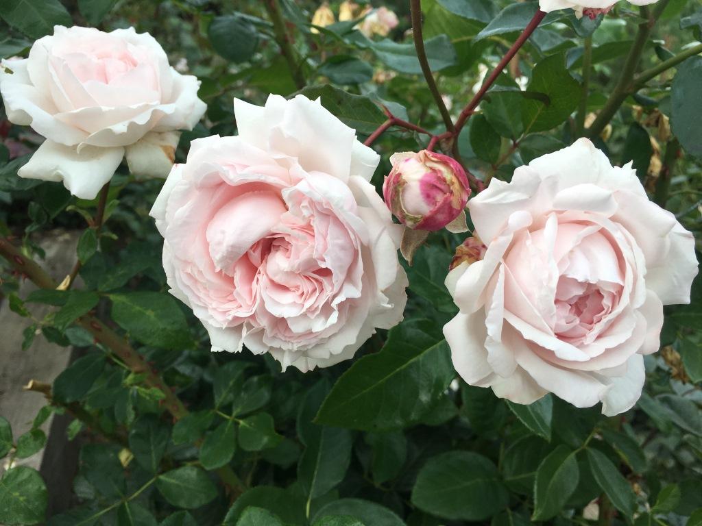 Rosa Hybr. Constanze Mozart, foto: pořadatel akce