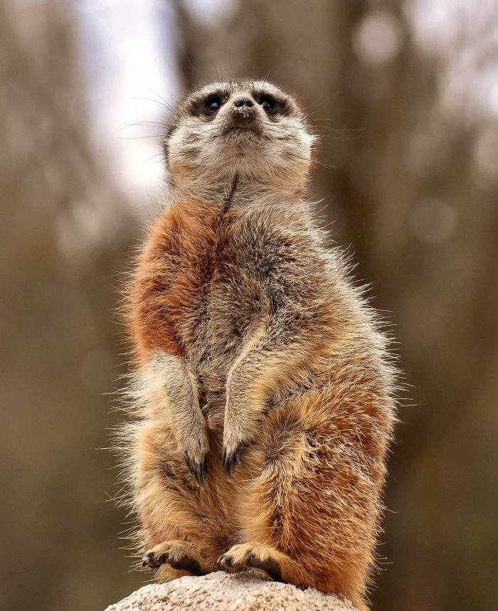 Breeder Meerkats Age Faster, But Their Subordinates Still Die Younger