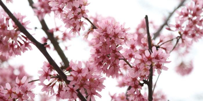 Kvetoucí Třešeň Prunus Okame - Foto Botanická Zahrada Hl.m. Prahy
