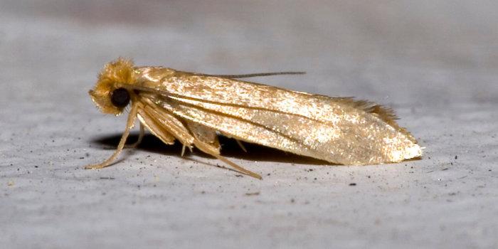 Mol šatní, Tineola Bisselliella. Foto Olaf Leillinger [CC BY-SA 2.5], Via Wikimedia Commons