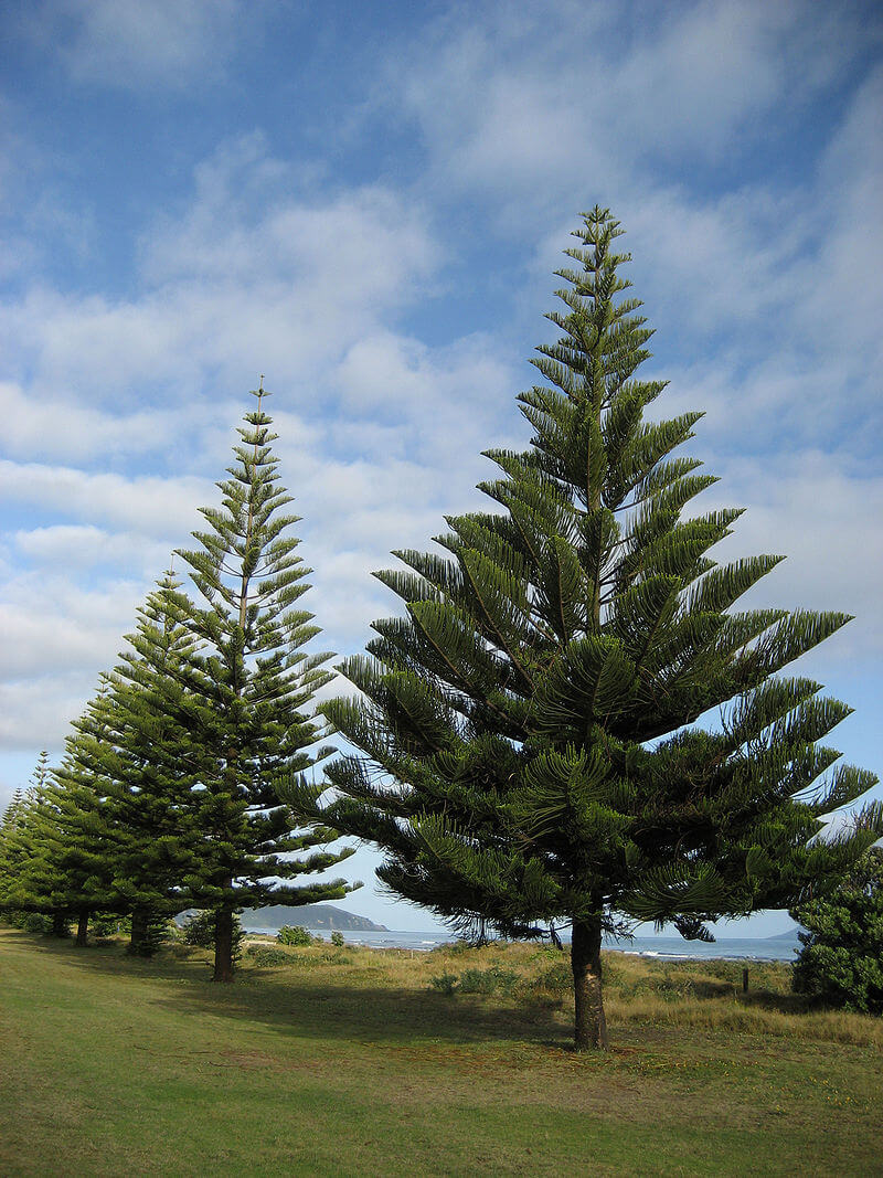 Araucaria heterophylla (Ohope, New Zealand) photo by Kahuroa