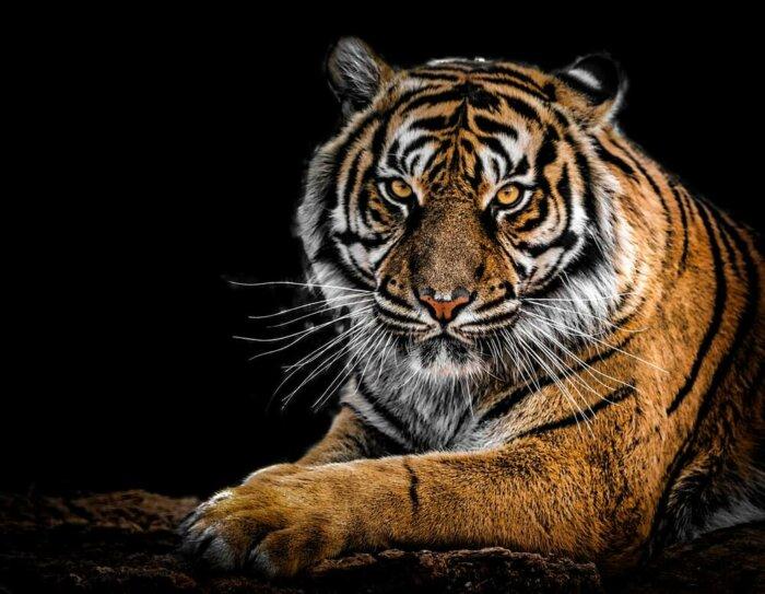 Dnes Slavíme: Mezinárodní Den Tygrů