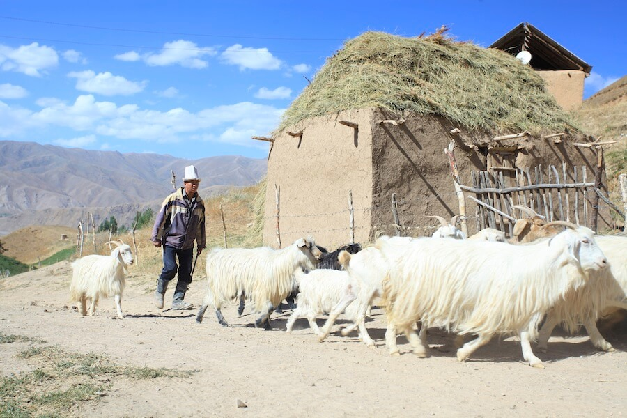 Herding Goats. Picture courtesy of June Cashmere