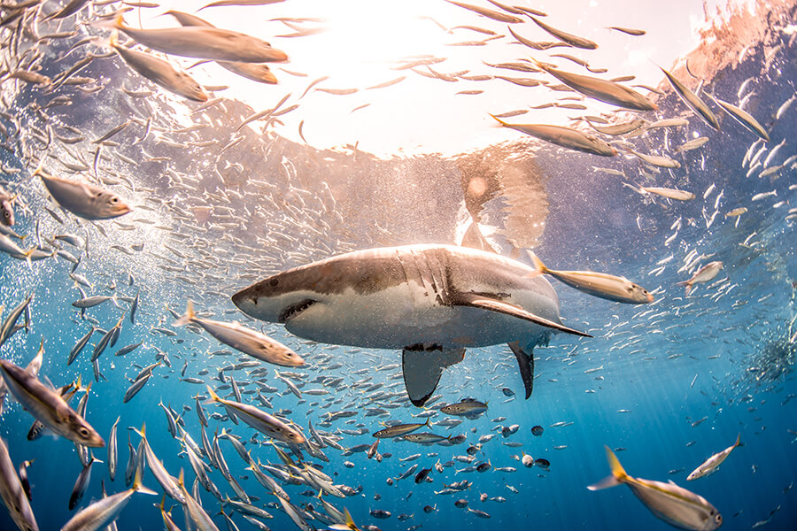 Guadalupe Island_Shark Week_Discovery Channel