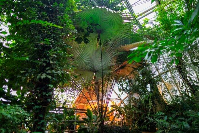 Trojská Botanická Zahrada Slaví, Ve Skleníku Fata Morgana Vykvetla Vzácná Bílá Palma